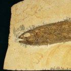 Eichstaettia mayri