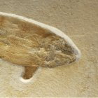 Caturus furcatus