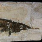 Aspidorhynchus acutirostris (Schnabelfisch)