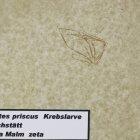 Phalangites priscus (Krebslarve)