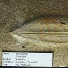 Plesiotheutis (Tintenfisch)