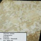 Geocoma carinata (Schlangenstern)