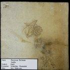 Pterocoma formosa (Seelilie)