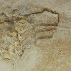 Macropterygius leptospondylus (Skelettrest eines Ichtyosauriers)