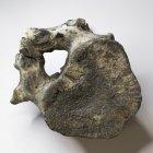 Tagebau Zwenkau, Rückenwirbel von Seekuh, (Halitherium), Breite mit Nervkanal 10,0 cm, Dicke 5,5 cm