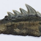 Tagebau Zwenkau, Haizahn, (Hexanchus), Lateralzahn Unterkiefer, Länge 3,5 cm