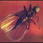 Fliege, weiblich, aus der Überfamilie der Empidoidea