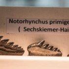Zähne Sechskiemer-Hai, Nothorhynchus primigenus