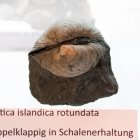 Muschel Arctica islandica rotundata, doppelklappig, Schalenerhaltung