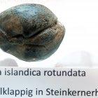Muschel Arctica islandica rotundata, doppelklappig, Steinkernerhaltung