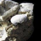 Krabbe Dromiopsis elegans (Breite 9 mm)