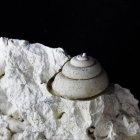 Schnecke Leptomaria niloticiformis (Breite 10 mm)