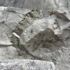 Heteromorpher Ammonit Lewyites elegans