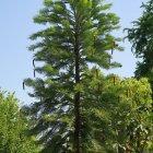 Bild 3: Wollemi-Kiefer (Wollemia nobilis)