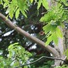 Bild 16: Flügelnuss Cyclocarvia paliurus
